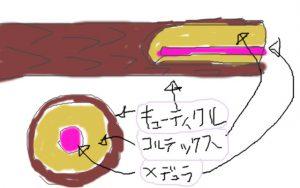 髪の構造 キューティクル コルテックス メデュラ 髪の毛